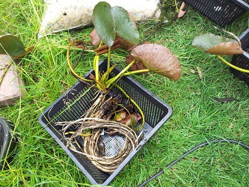Lily in basket ready to be potted