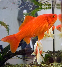 fivestep fish