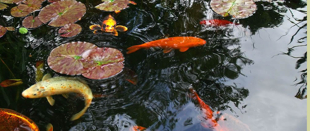 Koi fish pond Hampshire