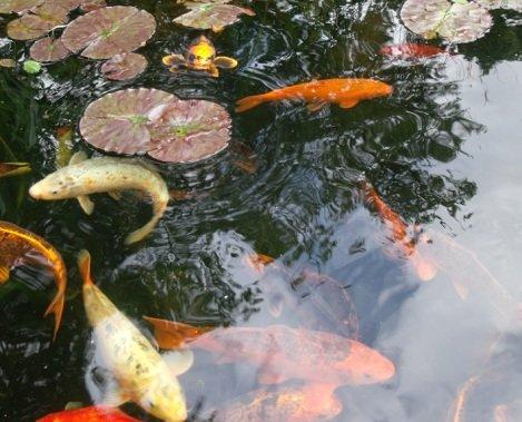 Koi carp pond fish pond Dorset